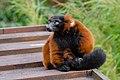 Lemur (26992364398).jpg