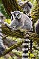 Lemur (40738804445).jpg
