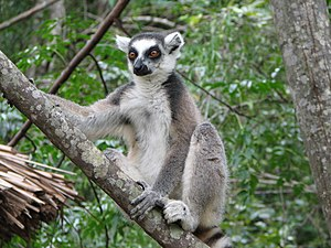 Lemur Catta02.jpg