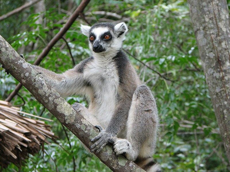 Fichier:Lemur Catta02.jpg