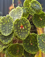 Lepanthes calodictyon for wiki.jpg