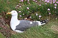 Lesser Black-backed Gull (Larus fuscus) - geograph.org.uk - 1898385.jpg