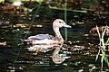 Lesser Whistling Duck at Diyasaru ParkIMG 0148A.jpg