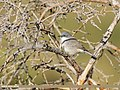 Lesser Whitethroat (Sylvia curruca) (46212485011).jpg