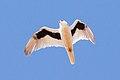 Letter-winged Kite (Elanus scriptus)2.jpg