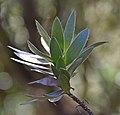 Leucadendron argenteum in Dunedin Botanic Garden 04.jpg