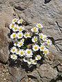 Leucanthemopsis alpina003.jpg