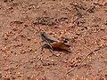 Leva soudanensis male.jpg