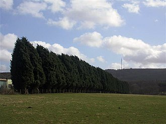 Leyland cypress - Leylandii used as windbreak