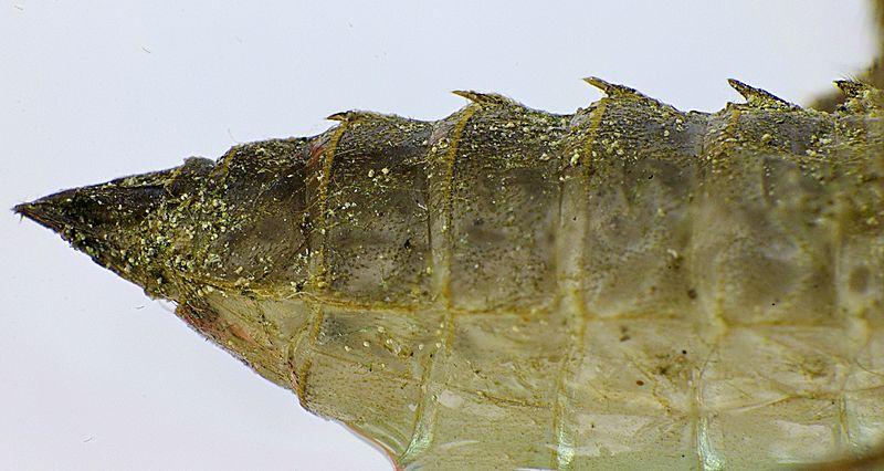 File:Libellula quadrimaculata detail1.jpg