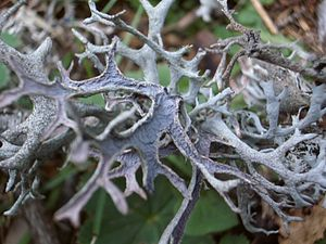 Ethnolichenology - Pseudevernia furfuracea was used in embalming.