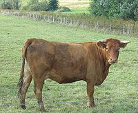Limousin-cow01.jpg