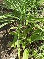 Linaria reticulata (Scrophulariaceae) leaves.JPG
