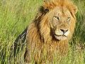 Lion (Panthera leo) (13981744111).jpg