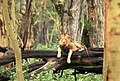 Lion in Lake Nakuru National Park, Kenya.JPG