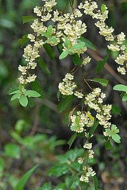 Litseacubebaflowers