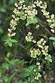 Litseacubebaflowers.jpg