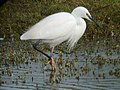 Little Egret, Bowling Green Marsh - geograph.org.uk - 93282.jpg
