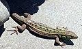 Lizard in Gori.jpg