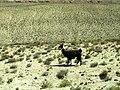 Ljama - panoramio.jpg