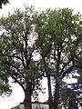 Lošany-jasany u hřbitova.JPG