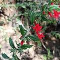 Loeselia mexicana (Polemoniaceae).jpg
