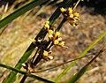 Lomandralongifolia1.jpg