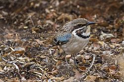 Long-tailed Ground-Roller - Reniala Reserve - Ifaty - Madagascar MG 1831 (15108347880).jpg