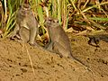 Long-tailed Macaques (Macaca fascicularis) (8076977532).jpg