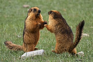 Long-tailed marmot Species of rodent