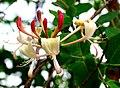 Lonicera caprifolium ENBLA04.jpg