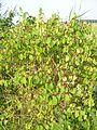 Lonicera xylosteum - arbuste dans une haie.JPG