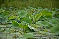 Lotus leaves on the waters of the lake- we could not see any flowers (35945792071).jpg