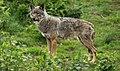 Loup des Appennins dans le Massif- Central (FRANCE).jpg
