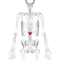 Lumbar vertebra 1 posterior.png
