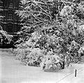 Luminen pensas Runebergin Esplanaadilla - N1974 (hkm.HKMS000005-000001bd).jpg