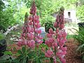 Lupine bloom2.jpg