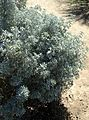Lupinus albifrons kz3.jpg