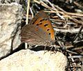 Lycaena phlaeas (Manto Bicolor) - Flickr - S. Rae (1).jpg