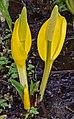 Lysichiton americanus - Aldergrove Regional Park.jpg