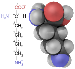 Lysine contains six carbon atoms. The central carbon atom connected to the amino and carboxyl groups is labeled alpha. The four carbon atoms in its linear side-chain are labeled from beta (closest to the central carbon), gamma, delta, through to the epsilon carbon at the end of the chain and furthest from the central carbon.
