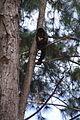 Macaco-prego Manduri 151207 6.JPG