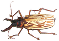 Macrodontia cervicornis (modified).png