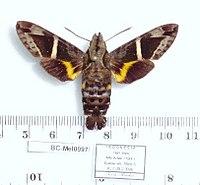 Macroglossum stevensi (Indonesia, Irian Jaya, Arfak Mts, Duebei vill.) (BC-Mel0997) (T. Melichar) male upperside.jpg