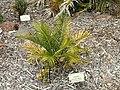Macrozamia communis - University of California Botanical Garden - DSC08993.JPG