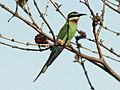 Madagascar Bee-eater RWD.jpg
