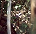 Madagascar Turtle Dove (Streptopelia picturata) (30305208977).jpg