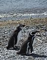 Magellanic Penguins (5541506088).jpg