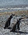 Magellanic Penguins (5541506088).jpg