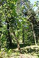 Magnolia officinalis Rogów 2.JPG